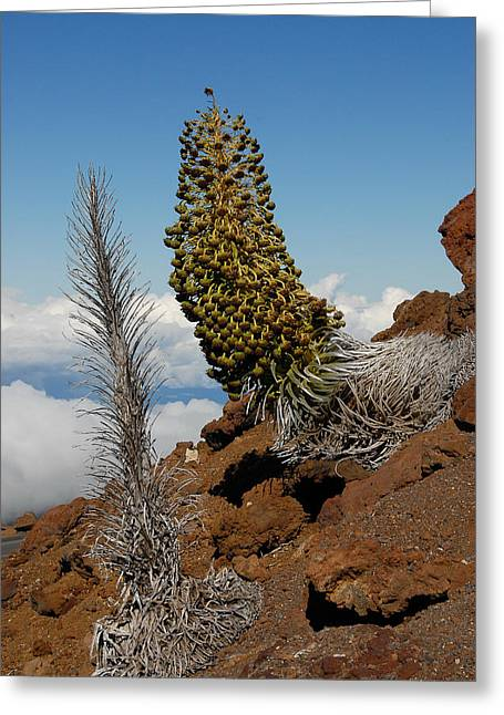 Silversword On Haleakala Greeting Card by Scott Massey
