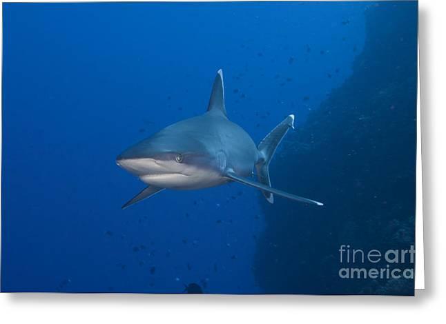 Silvertip Shark, Kimbe Bay, Papua New Greeting Card