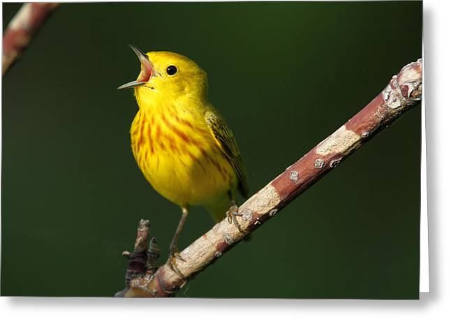 Singing Yellow Warbler Greeting Card