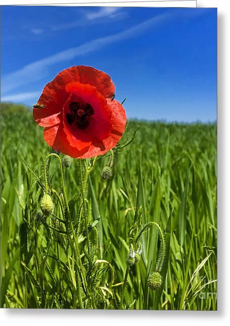 Single Poppy Flower  In A Field Of Wheat Greeting Card by Bernard Jaubert