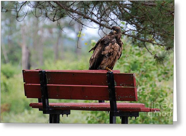 Sitting Eagle Greeting Card by Whispering Feather Gallery