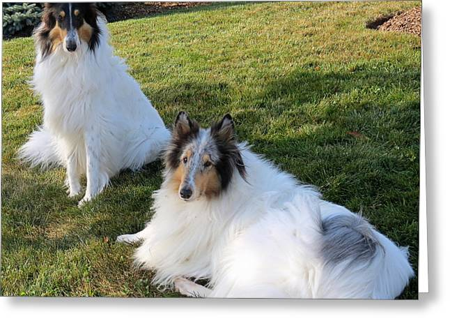 Sitting Pretty Collie Dogs Greeting Card by Kay Novy