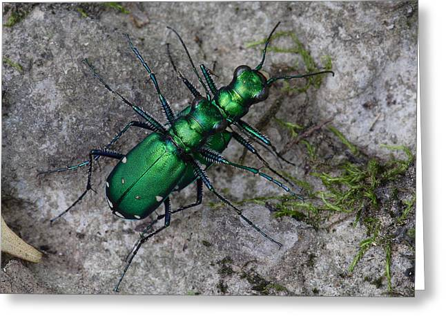 Greeting Card featuring the photograph Six-spotted Tiger Beetles Copulating by Daniel Reed