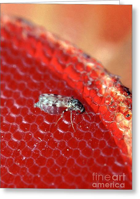 Sixteenth-inch Long Female Biting Midge Greeting Card by Science Source