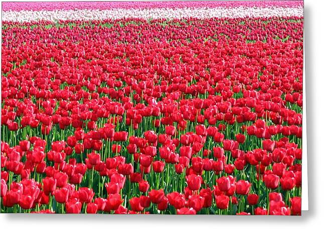 Skagit Valley Tulips 6 Greeting Card by Will Borden