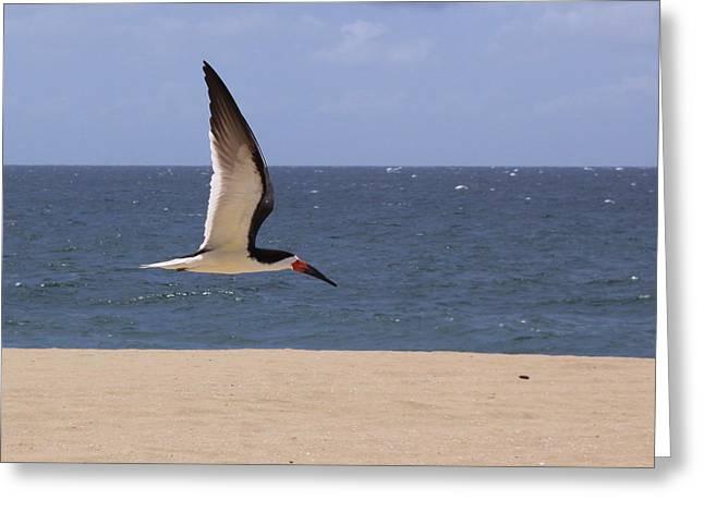 Skimmer In Flight Greeting Card