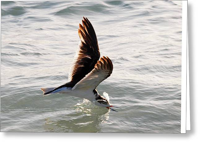 Skimmer Skimming Greeting Card by Phil Stone