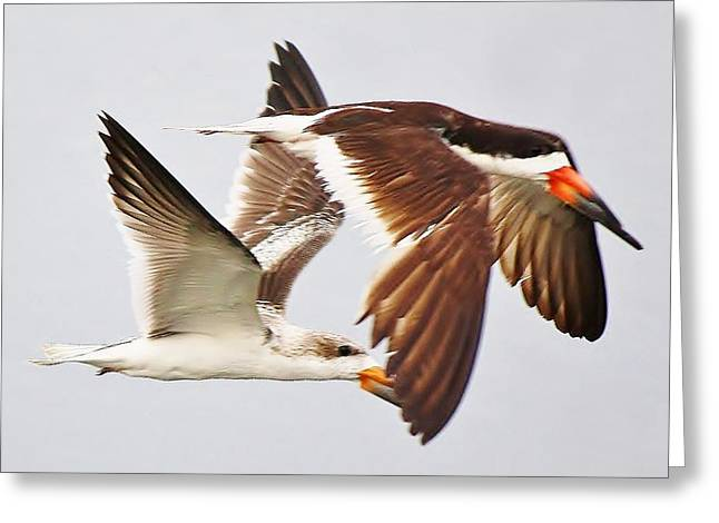 Skimmers Greeting Card by Paulette Thomas