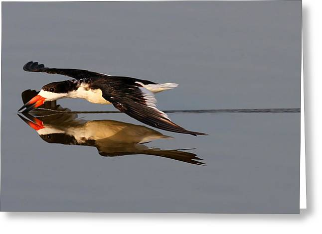 Skimming Run Greeting Card by Phil Lanoue