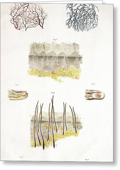 Skin Anatomy Greeting Card by Sheila Terry