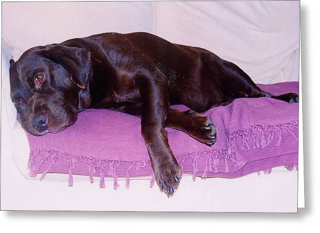Sleepy Chocolate Labrador Hooch Greeting Card