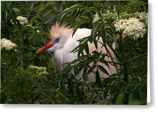 Sleepy Egret In Elderberry Greeting Card
