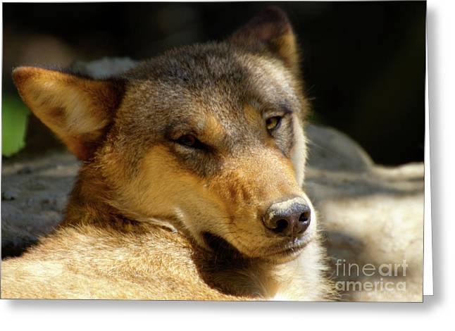 Greeting Card featuring the photograph Sleepy Wolf by Charles Lupica
