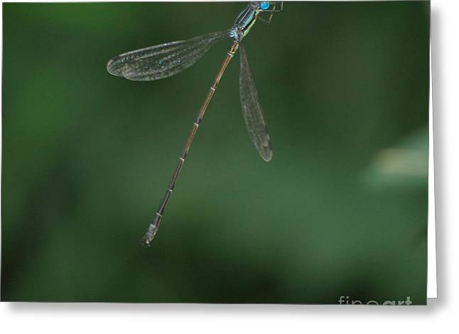 Slender Speadwing Damselfly Greeting Card