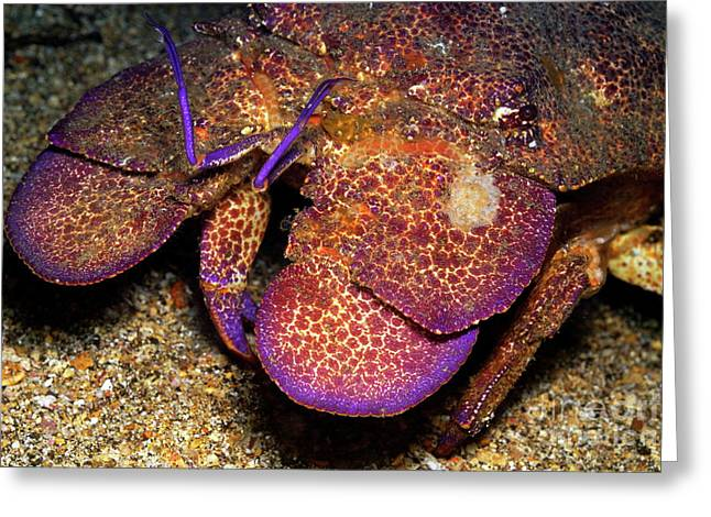 Slipper Lobster On Seabed Greeting Card by Sami Sarkis