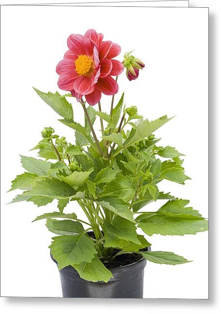 Greeting Card featuring the photograph Small Flower In A Small Pot by Aleksandr Volkov