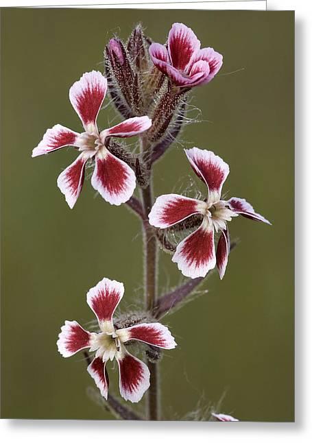 Small-flowered Catchfly Silene Gallica Greeting Card