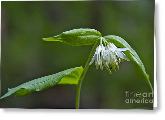 Small-flowered Fairy Bell Greeting Card by Sean Griffin