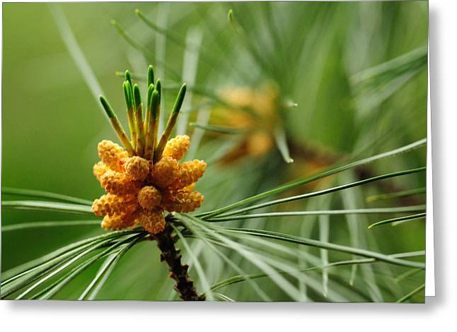 Small Male Cones On A Pine Tree Greeting Card by Darlyne A. Murawski