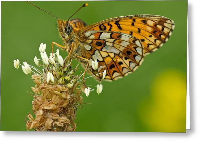 Small Pearl-bordered Fritillary Greeting Card by Anne Sorbes