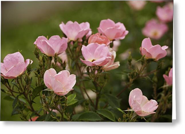 Small Pink Roses In Garden Greeting Card by M K  Miller