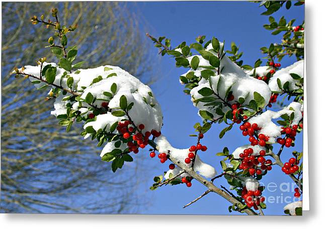 Snow Berrys Greeting Card