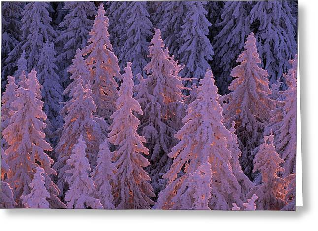 Snow Blanketed Fir Trees In Germanys Greeting Card by Norbert Rosing