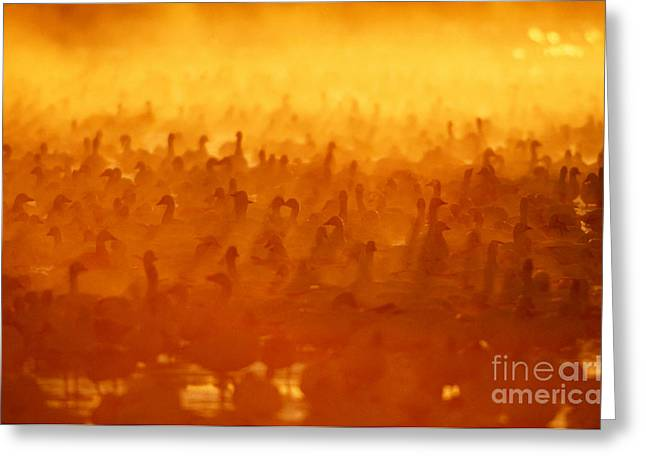 Snow Geese At Sunrise Greeting Card by Craig K Lorenz and Photo Researchers