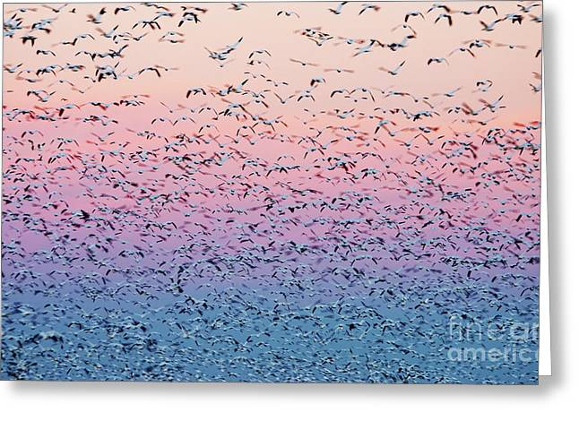 Snow Geese Liftoff Greeting Card by Susan Isakson