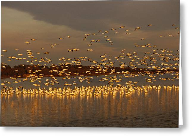 Snow Geese On Swans Cove Pool At Sunset Greeting Card by Raymond Gehman