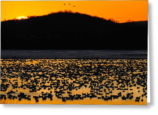 Snow Geese Sunrise Greeting Card