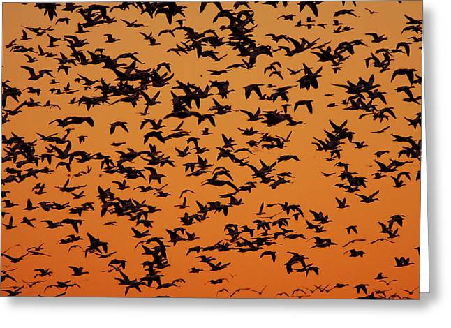 Snow Goose Migration Greeting Card by Mircea Costina Photography