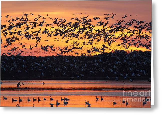 Snow Goose Sunset Greeting Card