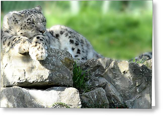 Snow Leopard At Rest. Kitty Time Greeting Card