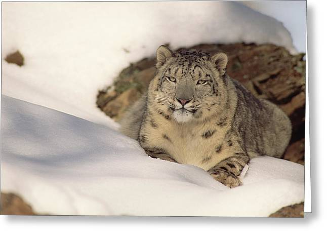 Snow Leopard Uncia Uncia Two Years Old Greeting Card