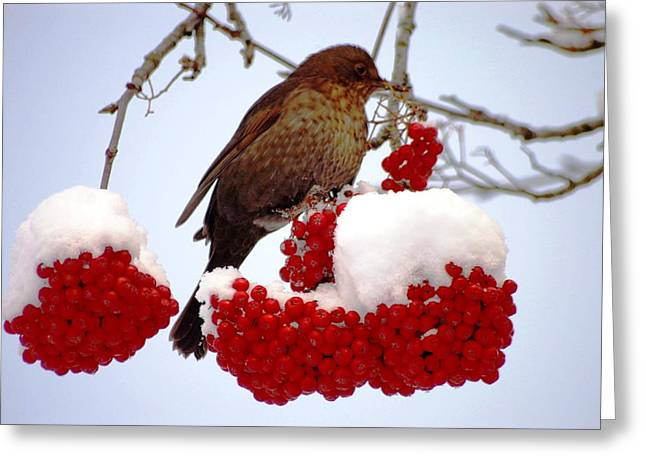 Snow On Rowan Berries Greeting Card by Meeli Sonn