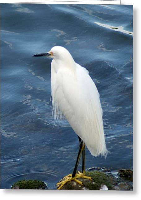 Snowy Egret 1 Greeting Card by Joe Faherty