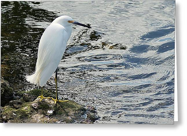 Snowy Egret 2 Greeting Card by Joe Faherty