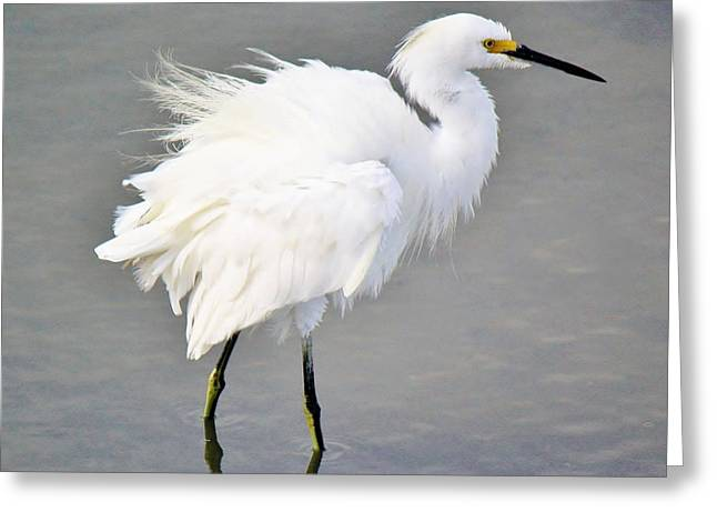 Snowy Egret All Fluffed Up Greeting Card by Paulette Thomas