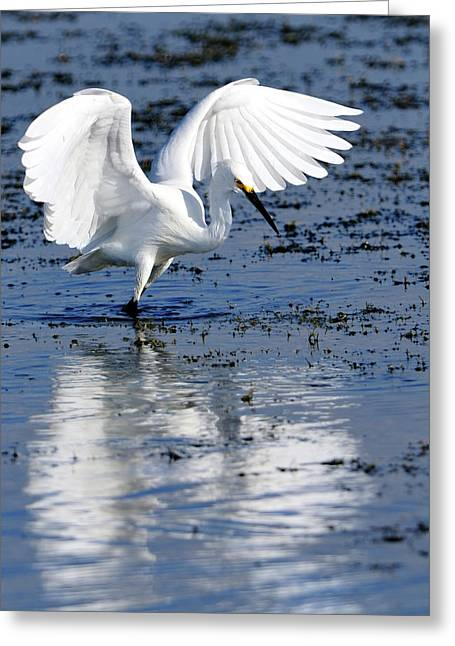 Snowy Egret Fishing Greeting Card