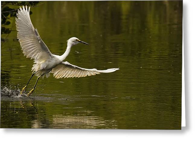 Snowy Egret Fishing In Florida Greeting Card