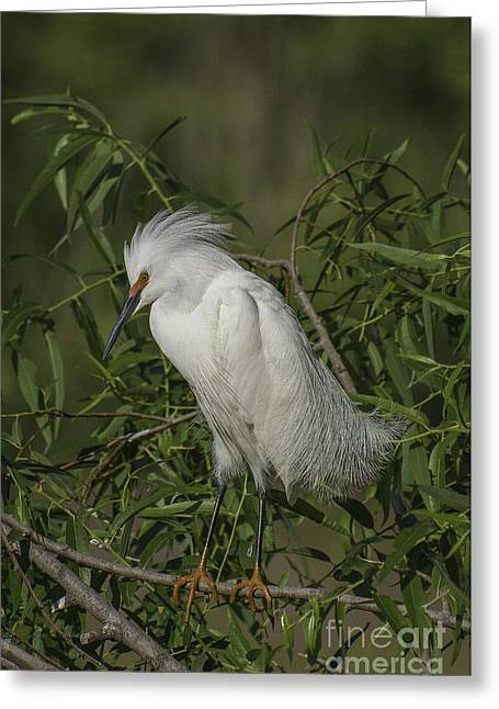 Snowy Egret In Breeding Plumage Greeting Card