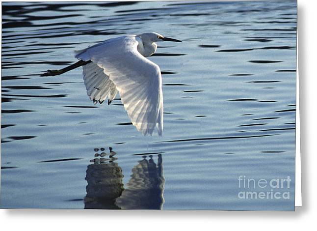Greeting Card featuring the photograph Snowy Egret In Flight by Craig Lovell