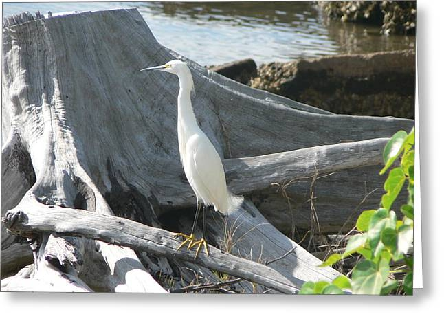 Greeting Card featuring the photograph Snowy Egret by Laurel Best