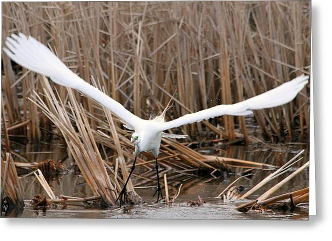 Greeting Card featuring the photograph Snowy Egret Liftoff by Mark J Seefeldt
