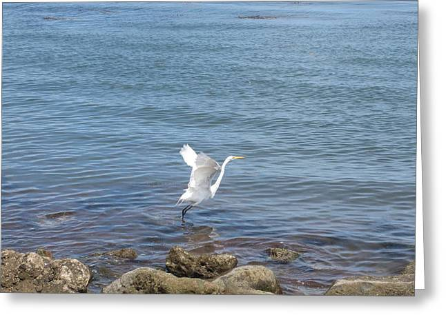 Greeting Card featuring the photograph Snowy Egret by Marilyn Wilson