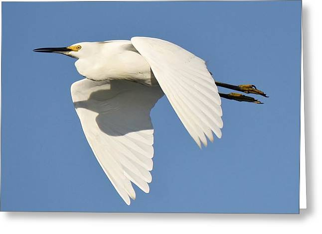 Snowy Egret Greeting Card by Paulette Thomas
