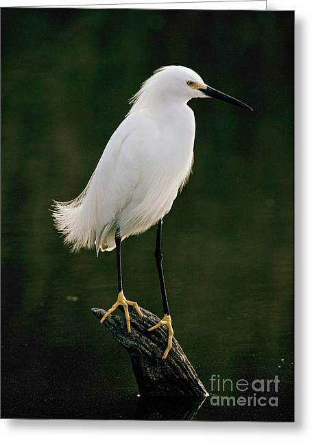 Greeting Card featuring the photograph Snowy Egret Portrait by Doug Herr