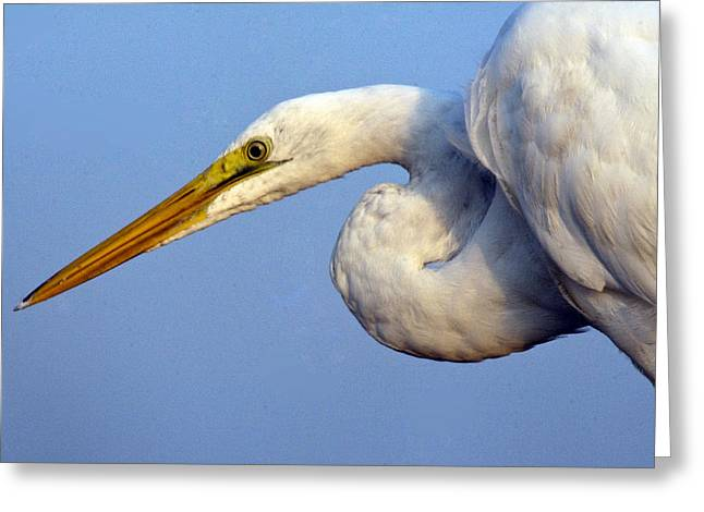 Greeting Card featuring the photograph Snowy Egret Ready by Darleen Stry