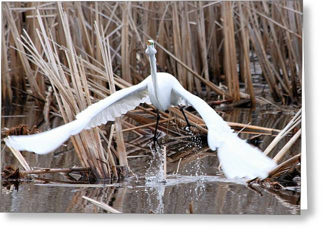 Greeting Card featuring the photograph Snowy Egret Takeoff by Mark J Seefeldt